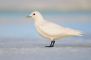 Adult Ivory Gull (Pagophila eburnea). This arctic dependent species appears to be declining rapidly due to climate change. Resolute, Nunavut, Canada. June.  -  Gerrit Vyn