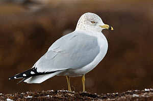 Adult Ring-billed Gull (Larus delawarensis) in winter plumage. Tompkins County, New York, USA, December. - Gerrit Vyn