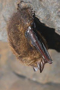 Eastern Pipistrelle (Pipistrellus subflavus) infected with white-nose syndrome, a deadly disease which causes a distinctive ring of fungal growth around the muzzles and on the wings of cave bats. Ulst... - Gerrit Vyn