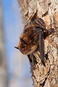 A Little Brown Bat ( Myotis lucifugus) clings to a tree on 20 degree F day outside Aeolus Cave. Despite the apparent health of this individual, it is supposed to be in deep hibernation. White-nose syn... - Gerrit Vyn