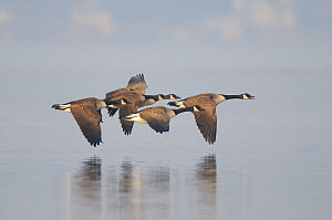 Small flock of adult Canada Geese (Branta canadensis) in flight. Tompkins County, New York, USA, March.  -  Gerrit Vyn