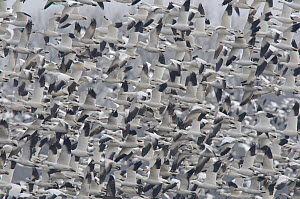 Flock of ^Greater^ Snow Geese (Chen caerulescens) departing an agricultural field during migration. Montezuma NWR, New York, USA March.  -  Gerrit Vyn