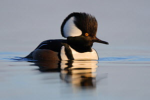 Adult male Hooded Merganser (Lophodytes cucullatus) in breeding plumage. Montezuma NWR, New York, USA, March. - Gerrit Vyn