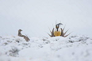 A male Gunnison Sage Grouse (Centrocercus minimus) displaying near a female in snowy sage. Gunnsion County, Colorado, USA, April - Gerrit Vyn