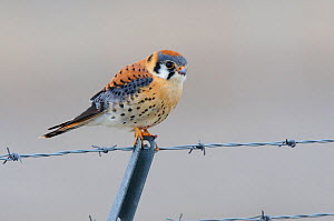 Adult male American Kestrel (Falco sparverius) hunting from a barbed wire fence. Gunnison County, Colorado, USA, April.  -  Gerrit Vyn