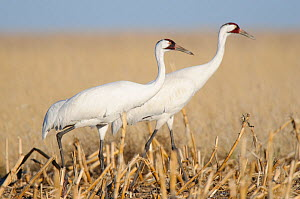 Adult Whooping Cranes (Grus americana) from the wild population, foraging in a corn field during spring migration. Central South Dakota, USA, April. - Gerrit Vyn