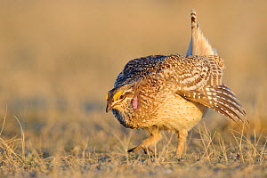 Adult male Sharp-tailed Grouse (Tympanuchus phasianellus) making an aggressive charge on a lek. Ft. Pierre National Grassland, South Dakota. USA, April.  -  Gerrit Vyn