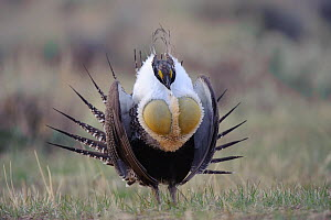 Adult male Greater Sage-Grouse (Centrocercus urophasianus) strutting on a lek. Freemont County, Wyoming, USA, April.  -  Gerrit Vyn