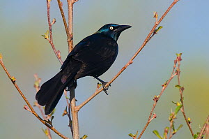 Adult male Common grackle (Quiscalus quiscula) perched in tree, Tompkins County, New York, USA, May. - Gerrit Vyn