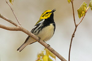 Singing male Black-throated Green Warbler (Dendroica virens) in breeding plumage, perched on branch. Tompkins County, New York, USA, May.  -  Gerrit Vyn