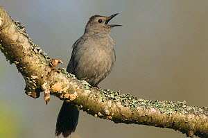Gray Catbird (Dumetella carolinensis) perched on a branch, singing in Spring. Tompkins County, New York, USA. - Gerrit Vyn