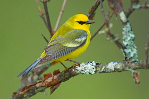Adult male Blue-winged Warbler (Vermivora pinus) in breeding plumage, perched in Lichen covered branch. Tompkins County, New York, USA, May.  -  Gerrit Vyn
