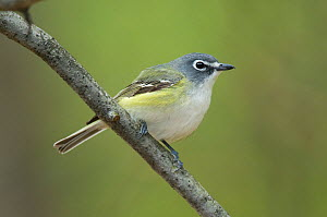 Blue-headed / Solitary Vireo (Vireo solitaruis) perched on a branch, Tompkins County, New York, USA, May.  -  Gerrit Vyn