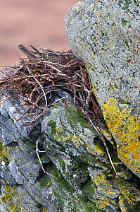 Adult female brown-morph Gyrfalcon (Falco rusticolus) brooding chicks on a nest. The nest was built in previous seasons by a Rough-legged Hawk and/or Common Raven. Seward Peninsula, Alaska, USA, May.  -  Gerrit Vyn