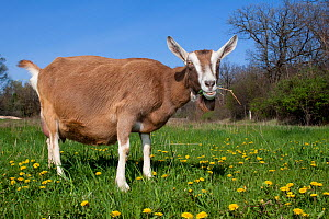 Domestic goat (Capra hircus) Toggenburg dairy breed, female, grazing in field amongst dandelions,  East Troy, Wisconsin, USA  -  Lynn M Stone