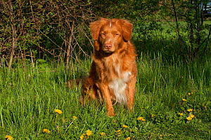 Domestic dog, Nova Scotia Duck-Toller Retriever sitting amongst green grass with dandelions, St. Charles, Illinois, USA  -  Lynn M Stone