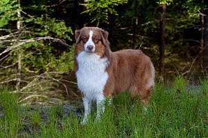 Domestic dog, Australian Shepherd (brown and white) in woodland, Voluntown, Connecticut, USA (SR) - Lynn M Stone