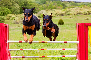 Domestic dog, two Doberman Pinchers jumping over agility course hurdle, Rockford, Illinois, USA  -  Lynn M Stone