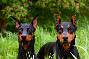 Domestic dog, two Doberman Pinchers  with cropped ears in meadow beside honey-suckle, Illinois, USA  -  Lynn M Stone