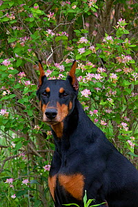 Domestic dog, Doberman Pincher  with cropped ears in meadow beside honey-suckle, Illinois, USA  -  Lynn M Stone