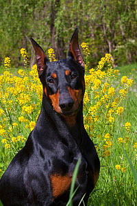 Domestic dog, Doberman Pincher  with cropped ears, portrait, in wild mustard in meadow, St. Charles, Illinois, USA (LK)  -  Lynn M Stone
