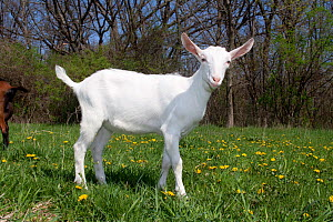 Domestic goat (Capra hircus) white Saanen breed kid in field, East Troy, Wisconsin, USA  -  Lynn M Stone