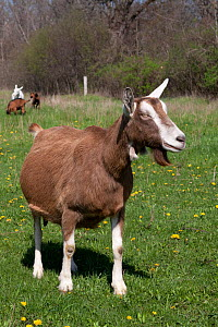 Domestic goat (Capra hircus) Toggenburg dairy breed female goat in field, E Troy, Wisconsin, USA  -  Lynn M Stone