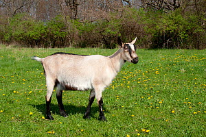 Domestic goat (Capra hircus) Alpine dairy breed female goat in field, East Troy, Wisconsin USA  -  Lynn M Stone