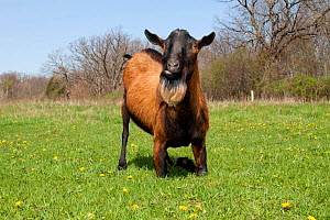 Domestic goat (Capra hircus) Oberhasli breed male goat resting on knees while grazing, East Troy, Wisconsin, USA  -  Lynn M Stone