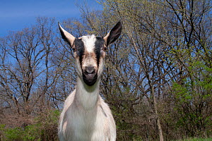 Domestic goat {Capra hircus} Alpine dairy breed female goat in field, East Troy, Wisconsin, USA  -  Lynn M Stone
