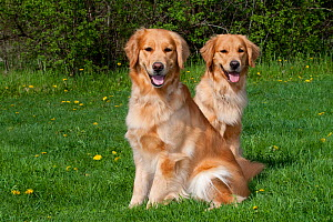 Domestic dog, pair of adult Golden Retrievers sitting on grass among dandelions, St. Charles, Illinois, USA  -  Lynn M Stone