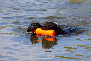 Domestic dog, two black Labrador Retrievers sharing retrieve of orange bumper in pond during training exercise; Hebron, Illinois, USA (GW) - Lynn M Stone