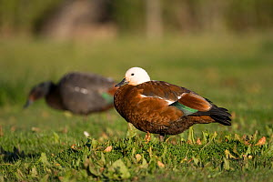 Female Paradise shelduck (Tadorna variegata) with male in background, Christchurch, New Zealand  -  Tom Marshall