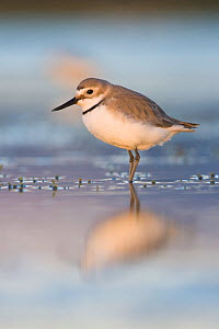 Wrybill (Anarhynthus frontalis) in shallow pool at dusk, Lake Ellesmere, Canterbury, New Zealand - Tom Marshall
