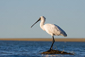 Royal spoonbill (Platalea regia) perched on mud mound, Ashley River Mouth, Canterbury, New Zealand, May  -  Tom Marshall