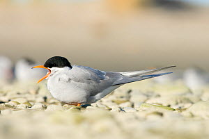 Black fronted tern (Childonias albostriatus) calling, Ashley River Mouth, Christchurch, New Zealand, May, Endangered species  -  Tom Marshall