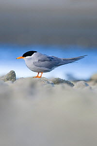 Black-fronted tern (Childonias albostriatus) on rock, Ashley River Mouth, Christchurch, New Zealand, May, Endangered species  -  Tom Marshall