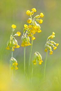 Cowslips {Primula veris}in flower, Peak District National Park, Derbyshire, UK. April 2009.  -  Alex Hyde