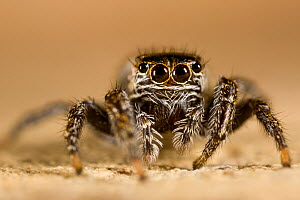 Female Jumping Spider {Evarcha falcata} in limestone quarry, Peak District National Park, UK. May.  -  Alex Hyde