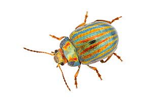 Rosemary beetle (Chrysolina americana) on white background. - Alex Hyde