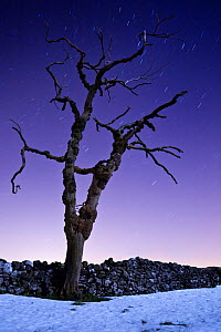 Dead tree in snow photographed with a long exposure at night, showing star trails. Peak District National Park, Derbyshire, UK. December 2008.  -  Alex Hyde
