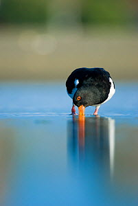 South Island pied oystercatcher (Haematopus finschi) feeding in shallow water, Christchurch, New Zealand, March  -  Andrew Walmsley