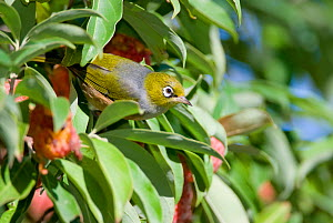Silvereye / Waxeye / Tauhou (Zosterops lateralis) adult in tree, Christchurch, New Zealand, May  -  Andrew  Walmsley
