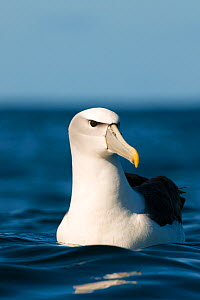 White-capped albatross (Thalassarche steadi) on sea, Kaikoura, New Zealand, April  -  Andrew Walmsley