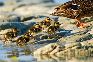 Mallard (Anas platyrhynchos platyrhynchos) ducklings following mother, Kaikoura, New Zealand, November - Andrew Walmsley