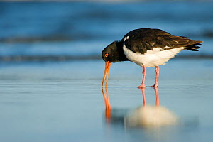 South Island pied oystercatcher (Haematopus finschi) feeding on a sandy beach, Christchurch, New Zealand, February  -  Andrew Walmsley