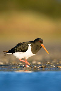 South Island pied oystercatcher (Haematopus finschi) at waters edge, Christchurch, New Zealand, February  -  Andrew Walmsley
