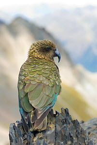 Kea (Nestor notabilis) adult on rock, summit of Avalanche Peak, Arthur's Pass, New Zealand, February, Vulnerable species - Andrew Walmsley