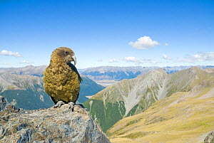 Kea (Nestor notabilis) on rock, summit of Avalanche Peak), Arthur's Pass, New Zealand, February 2009, Vulnerable species  -  Andrew Walmsley