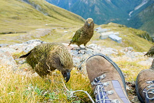 Kea (Nestor notabilis) investigating photographers boots with juvenile behind, Arthur's Pass, New Zealand, February - Andrew Walmsley